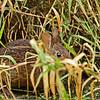 MarshRabbit-LAWD-2-4-18-SJS-001