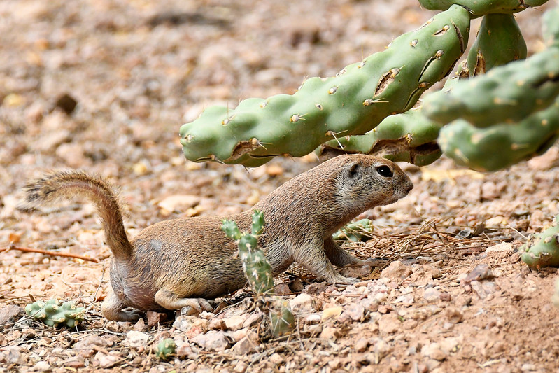 ArizonaGroundSquirrel-AZ-7-30-17-SJS-003