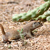 ArizonaGroundSquirrel-AZ-7-30-17-SJS-003