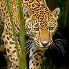 Jaguar-Bleize-2016-SJS-001
