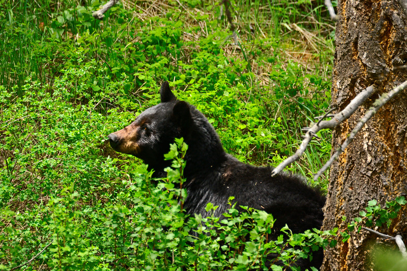 BlackBearYellowstoneNP-2016-sjs-006