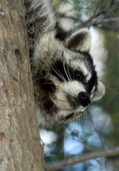 Raccoon-208-12