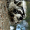 Raccoon-208-12