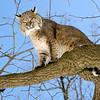 Bobcat(Lynx-rufus)-02