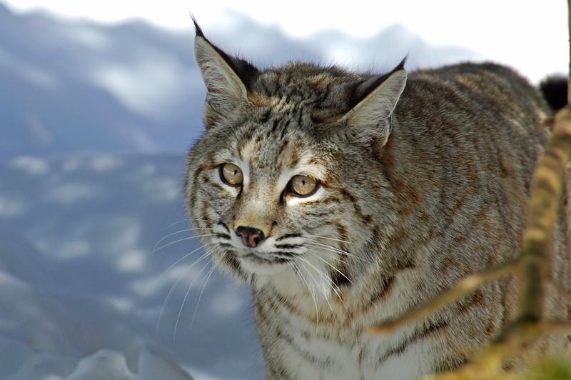 Bobcat(Lynx-rufus)-15