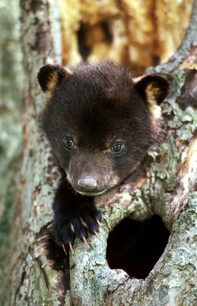 blackbearcub