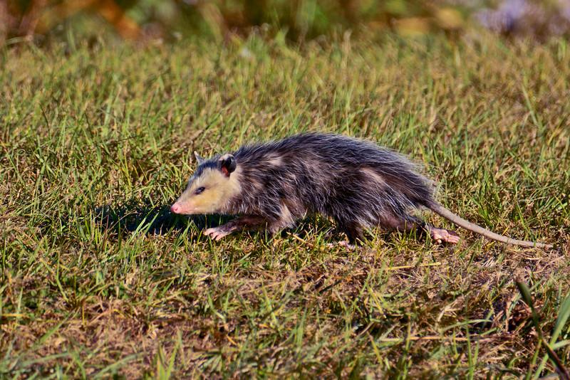 Opossum2016-SJS-002