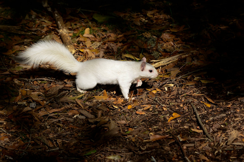WhiteSquirrel-BrevardNC-11-3-18-SJS-41