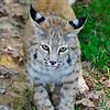 Bobcat-WVSWC2012-03