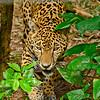 Jaguar-Bleize-2016-SJS-005