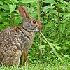 EasternCottontail-Alabama-6-18-18-SJS-003