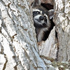 Raccoon-MM-5-16-17-SJS-004