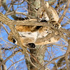 Bobcat(Lynx-rufus)-03