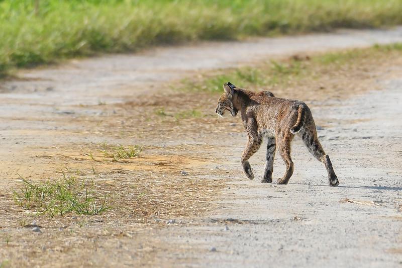 Bobcat-LAWD-7-6-19-SJS-004