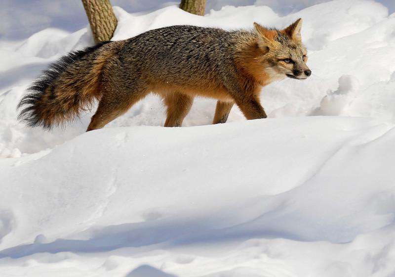GrayFox(Urocyon-cinereoargenteus)-07