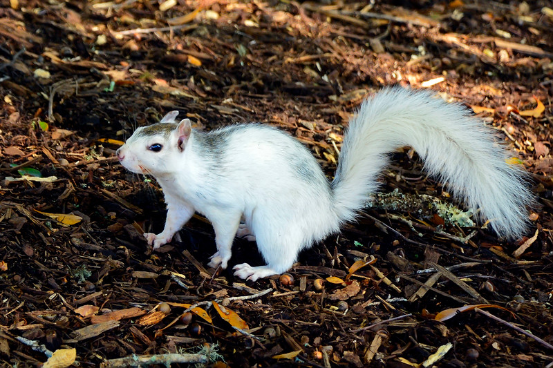 WhiteSquirrel-BrevardNC-11-3-18-SJS-53