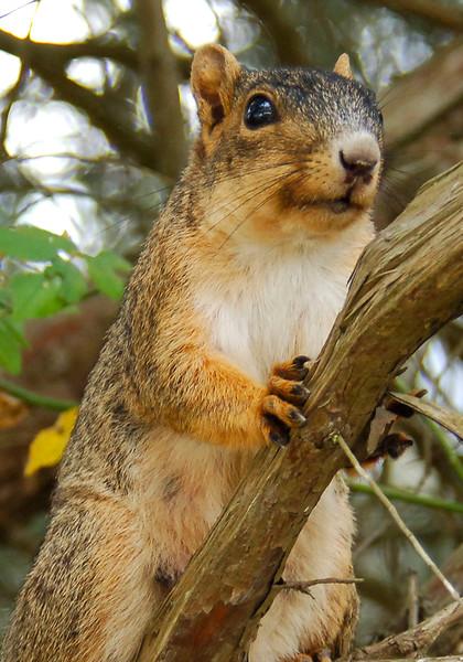 FoxSquirrel-2008-07