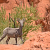 Bighorn Sheep - Valley of Fire State Park, Nevada, 6/28/2018-029