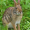 EasternCottontail-Alabama-6-18-18-SJS-008