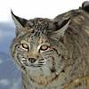 Bobcat(Lynx-rufus)-13