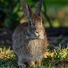 EasternCottontail-LakeYale-4-2-20-SJS-001