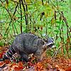 RaccoonPocahontasCoWV-03