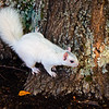 WhiteSquirrel-BrevardNC-11-3-18-SJS-43