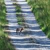 Coyote-PiedmontNWR-GrayGA-9-3-19-SJS-001