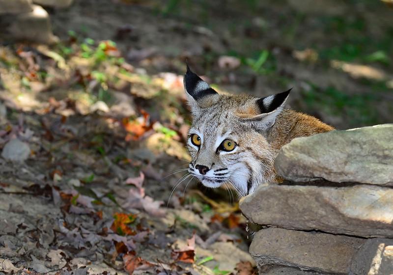 Bobcat-WVSWC2012-02
