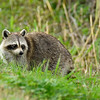 Raccoon-LAWD-2-9-18-SJS-001