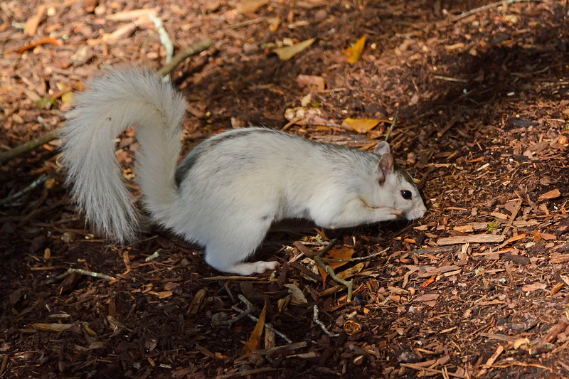 WhiteSquirrel-BrevardNC-11-3-18-SJS-24