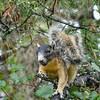 ShermanFoxSquirrel-OcalaNF-9-28-20-sjs-01