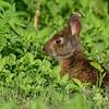 MarshRabbit-LAWD-6-1-18-SJS-001