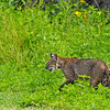 Bobcat-Circle-B-BarReserve-6-12-19-SJS-003