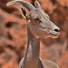 Bighorn Sheep - Valley of Fire State Park, Nevada, 6/28/2018-039