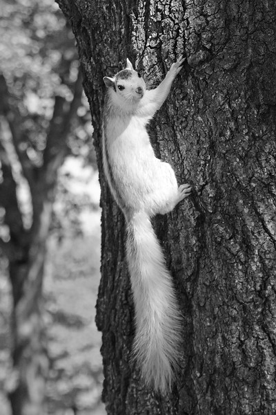 WhiteSquirrel-BrevardNC-11-3-18-SJS-57