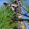 Raccoon-OcalaNF-FL-7-31-18-SJS-003