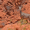 Bighorn Sheep - Valley of Fire State Park, Nevada, 6/28/2018-036