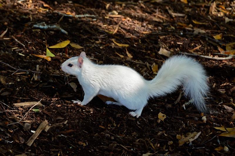 WhiteSquirrel-BrevardNC-11-3-18-SJS-48