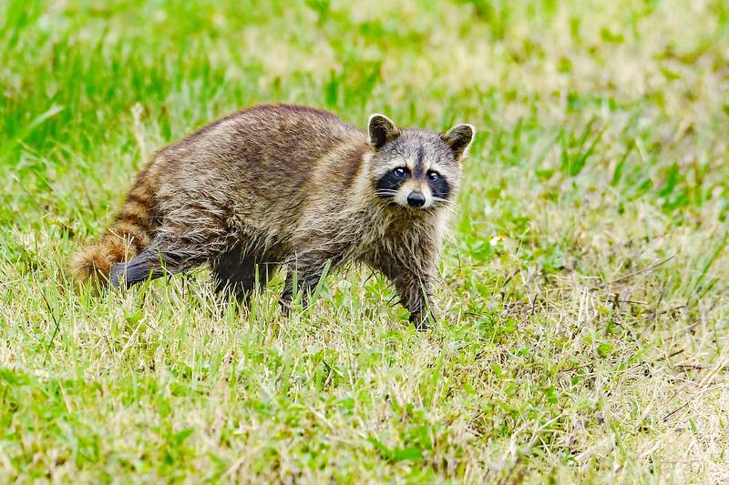 Raccoon-EmeraldaMarsh-412-20-SJS-003