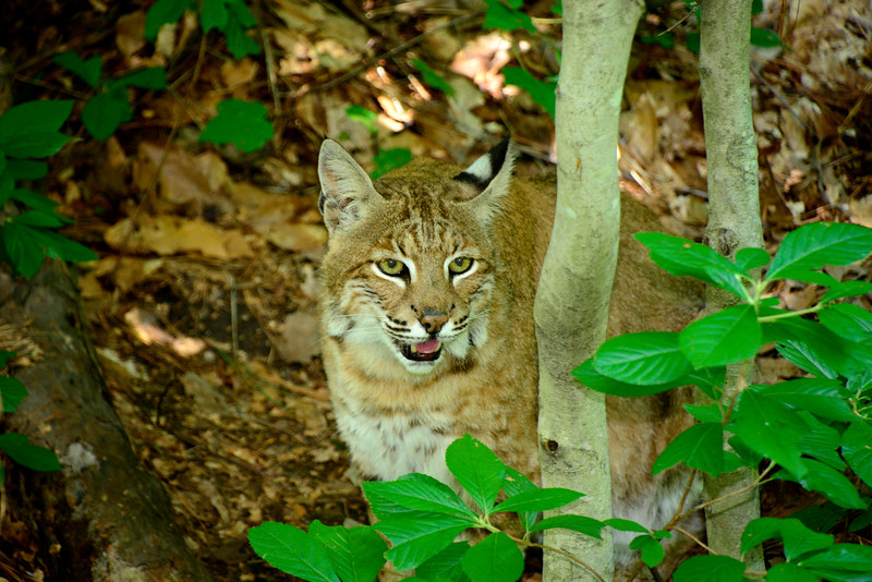 Bobcat-2015-002
