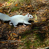 WhiteSquirrel-BrevardNC-11-3-18-SJS-39