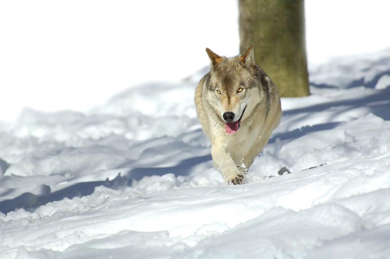 GrayWolf(Canis-lupus)-10