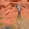 Bighorn Sheep - Valley of Fire State Park, Nevada, 6/28/2018-033