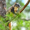 ShermanFoxSquirrel-OcalaNF-7-18-20-sjs-001