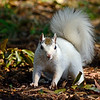 WhiteSquirrel-BrevardNC-11-3-18-SJS-05
