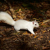WhiteSquirrel-BrevardNC-11-3-18-SJS-40