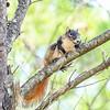 ShermanFoxSquirrel-OcalaNF-7-18-20-sjs-009