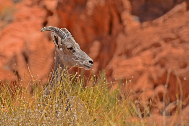 Bighorn Sheep - Valley of Fire State Park, Nevada, 6/28/2018-035