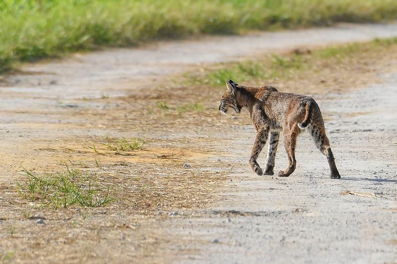 Bobcat-LAWD-7-6-19-SJS-003